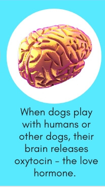 Dog Fact # 2: When Dogs Play with Humans or Other Dogs, Their Brain Releases Oxytocin - The Love Hormone