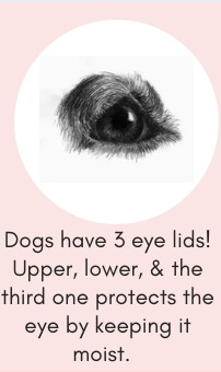 Dog Fact # 8: Dogs Have 3 Eyelids! The Third One Protects the Eye by Keeping it Moist