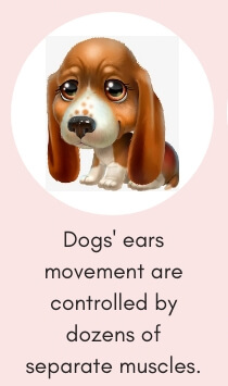 Dog Fact # 11: Dog's Ears Movement are Controlled by Dozens of Separate Muscles