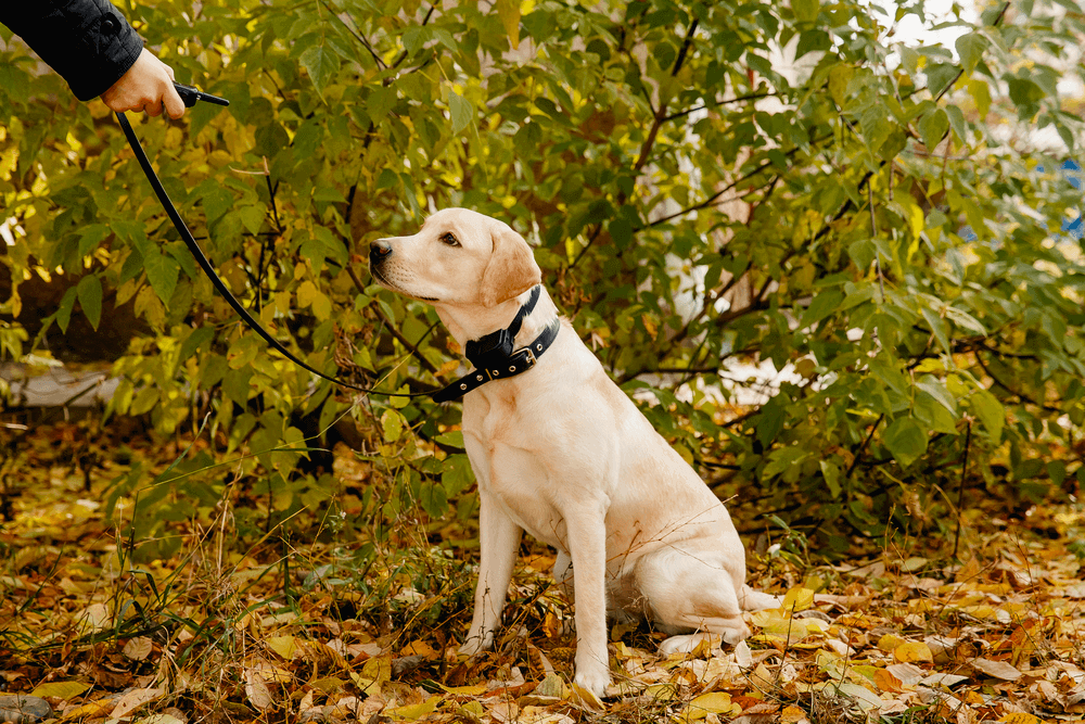 Dog wearing a remote dog training collar with a leash being trained for recall