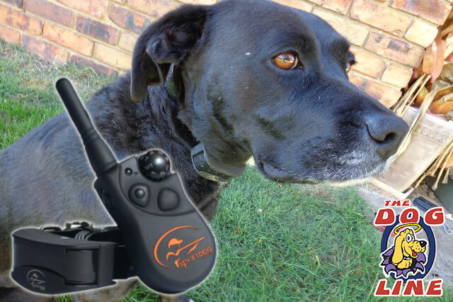 dog with a remote dog training collar
