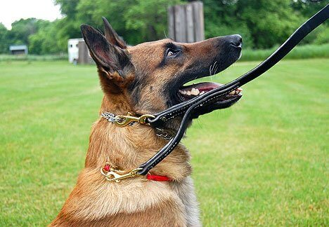 Dog wearing a prong collar with a leash