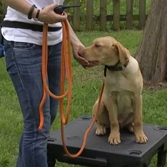 Dog wearing a remote dog training collar trained for the come command for recall