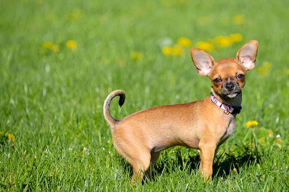 of the most Loudest Dog Breeds