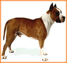 American pit bull terrier Whole