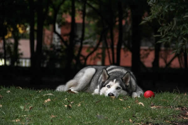 Husky at the park not coming when called