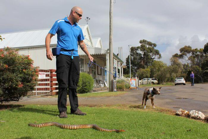 dog trainer teaching a dog to avoid snakes