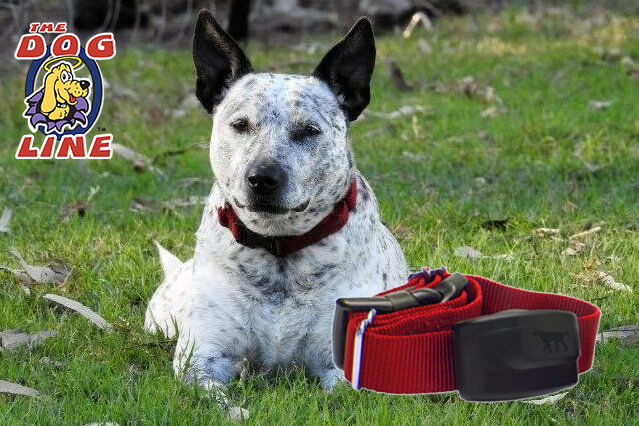 Dog wearing electric dog fence collar, in a safe place, away from snakes